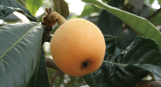 Enjoy picking and eating all you like of the famous biwa fruit!