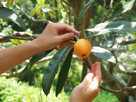 Biwa Fruit Picking (Biwa-gari) address1